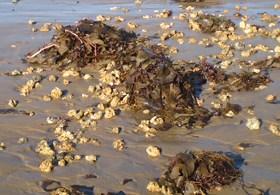 Algas calcárias trazidas à beira da praia. Fonte: IPAQ